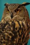 owl för buboörneurasian Arkivfoton