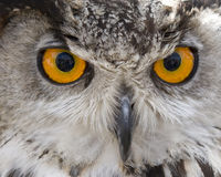 Owl face Royalty Free Stock Images
