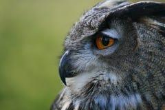 Owl face Stock Photo