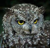 Owl face Stock Photography