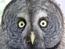 Owl face Stock Photos