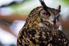 Spotted Eagle Owl face Close up Stock Photo