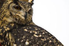 Spotted Eagle Owl face Close up. Spotted Eagle Owlface closeup while scouting for food royalty free stock photography