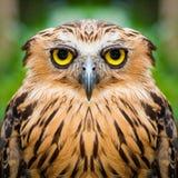 Owl face close up Stock Image