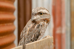 Owl face close up Royalty Free Stock Images