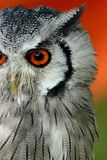 Owl face shot. Orange bird eye Royalty Free Stock Photo