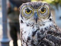 Owl facing camera, big yellow eyes. With pince nez. Stock Image