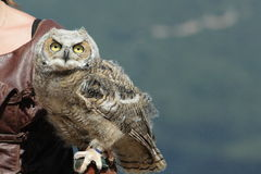 Owl with a falconer. Owl placed on the hand of a falconer Stock Images