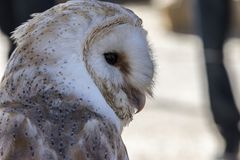 Owl falconry face. Close-up view of a falconry owls face royalty free stock photo