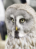 Owl falconry natural Stock Images