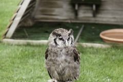 Owl falconry natural Royalty Free Stock Image
