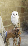 Owl in falconry. White owl on falconry on a glove, animals and nature royalty free stock photography