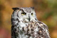 Owl during fall Stock Image