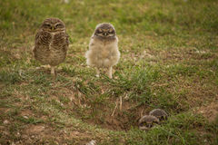 Owl family. Owl ,pther and his pigeons royalty free stock photography