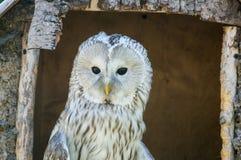 Owl at the farm. White owl at the farm Stock Photos