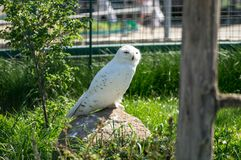 Owl at the farm. White owl on the stone at the farm Royalty Free Stock Image