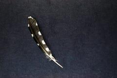 Owl Feather Lying solo sulla superficie parzialmente blu e nera del fondo con spazio libero immagine stock