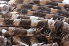Owl Feathers. A close up image of barred owl feathers Stock Images