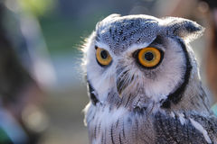 Owl. Feathery owl with yellow eyes Royalty Free Stock Photos