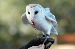Owl feeding Stock Photography