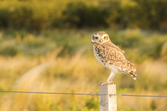 Owl on a Fence Royalty Free Stock Photos