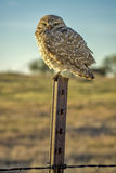 Owl in a fence post in the early morning Stock Photo