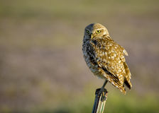 Owl in a fence post in the early morning Stock Images