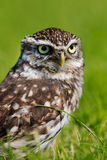 Owl in a field Royalty Free Stock Image