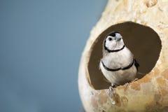 Owl Finch fotografia de stock