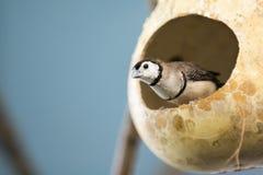 Owl Finch fotografia de stock royalty free