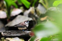 Owl Finch Bird Royalty Free Stock Photos