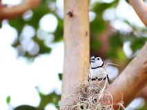 Owl Finch bird in aviary Stock Images