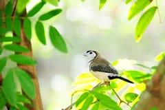 Owl Finch Bird On a Branch Royalty Free Stock Photos
