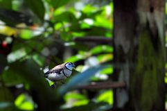 Owl Finch bird. Double-barred Finch (sometimes referred to as Bicheno's Finch; and also as Owl Finch) in an aviary in Butterfly World, South Florida Stock Image