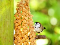 Owl Finch bird eating in aviary in Florida Royalty Free Stock Photography