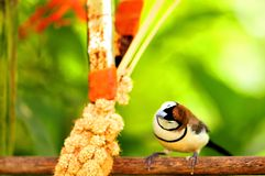 Owl Finch bird eating in aviary, Florida Stock Images
