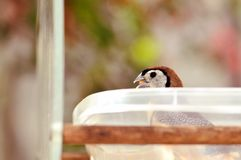 Owl Finch bird inside food bowl in aviary Royalty Free Stock Photo