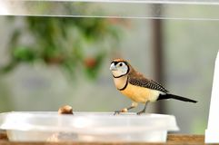 Owl Finch bird perched on bowl in aviary Royalty Free Stock Image