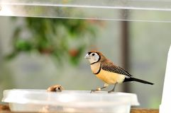 Owl Finch bird perched on food bowl in aviary Stock Image