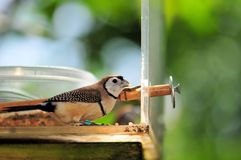 Owl Finch bird perched beside food bowl in aviary Royalty Free Stock Images