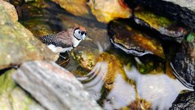 Owl Finch Bird In the Water Stock Images