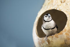 Owl Finch. The double-barred finch  is an estrildid finch found in dry savannah, tropical (lowland) dry grassland and shrubland habitats in northern and eastern Stock Photography