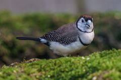 Owl finch Exotic birds and animals in wildlife in natural setting.  stock images