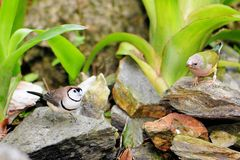 Owl Finch and Gouldian Birds Royalty Free Stock Photo