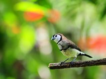 Owl Finch-Vogel Lizenzfreie Stockfotos