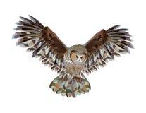 An owl flies on a white background. A bird spreads its wings, a forest bird, an owl hunts Stock Photos