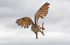 Owl in Flight Stock Photos