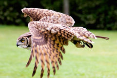 OWl. An owl in flight Stock Photo