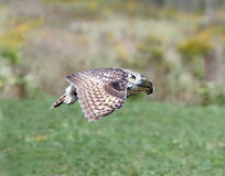 Owl in flight. Taken at a raptor show Royalty Free Stock Photos