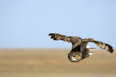 Owl in flight Stock Image